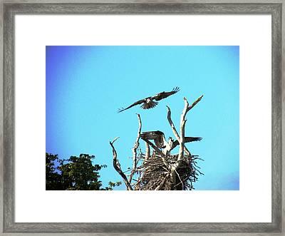 Nesting Ospray Framed Print by Will Boutin Photos