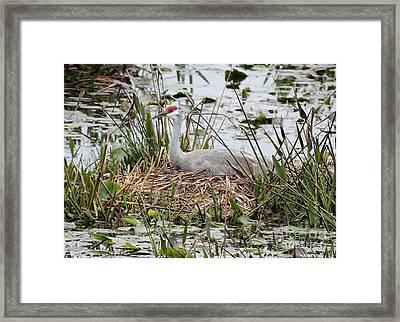 Nesting Sandhill Crane Framed Print by Carol Groenen