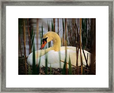 Nesting Swan Framed Print