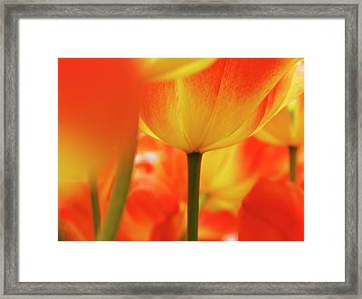 Netherlands, Macro Of Colorful Tulip Framed Print