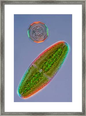 Netrium And Arcella, Lm Framed Print by Marek Mis