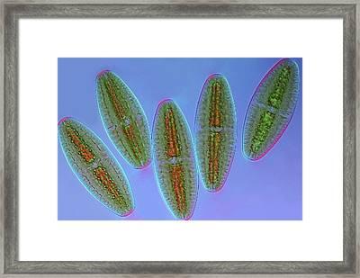 Netrium Desmids, Light Micrograph Framed Print by Science Photo Library