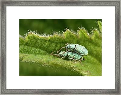 Nettle Weevils Framed Print by Nigel Downer