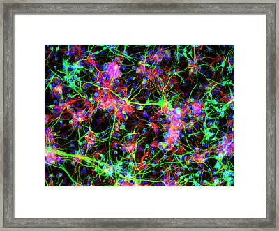 Neural Stem Cells Framed Print by Daniel Schroen, Cell Applications Inc