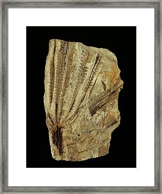 Neuropteridium Tree Fern Fossil Framed Print
