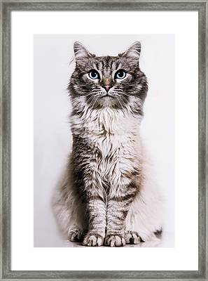 Neva Masquerade Cat In The Studio Framed Print by Kevin Vandenberghe