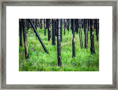 New And Old Burnt Trees And New Grass Glacier National Park Framed Print