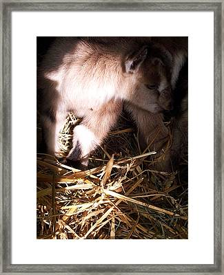 New Born Baby Goat Framed Print by Nickolas Kossup