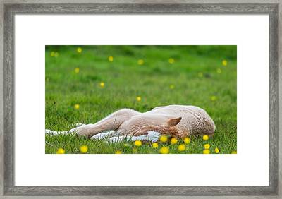New Born Foal, Iceland Framed Print