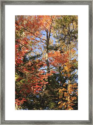 New England Trees Framed Print