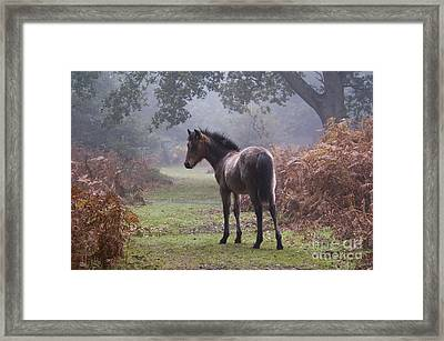 New Forest Pony Framed Print by Dave Pressland FLPA