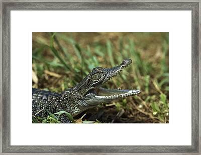 New Guinea Crocodile Baby New Guinea Framed Print