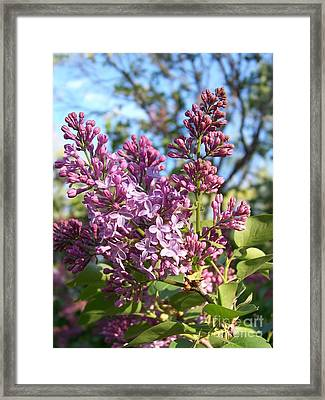 Purple Lilac Framed Print by Eunice Miller