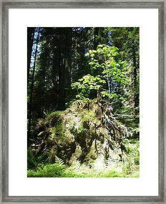 New Life For Old Stump Framed Print by Suzanne McKay