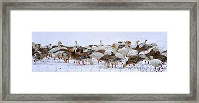 New Melle Snow Geese Framed Print by Linda Tiepelman