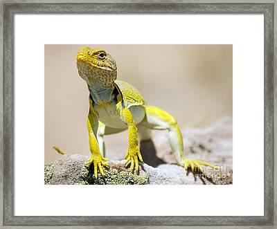 New Photographic Art Print For Sale Yellow Lizard Ghost Ranch New Mexico Framed Print