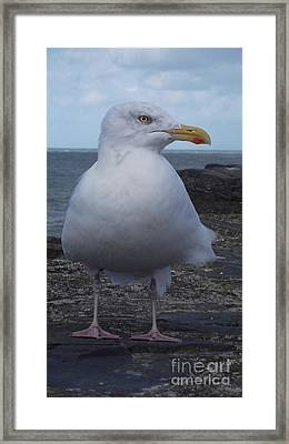 New Quay Gull  Framed Print