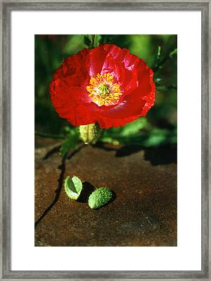 New Red Poppy Framed Print