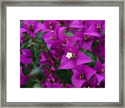 New River Bougainvillea Framed Print