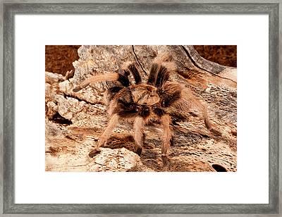 New River Rust Rump Tarantula Framed Print by David Northcott