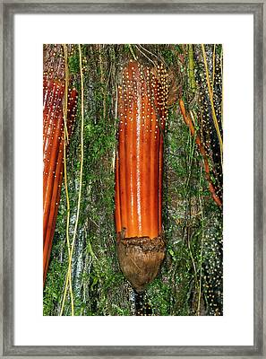 New Root Of An Iriartea Deltoidea Palm Framed Print by Dr Morley Read