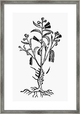 New Spain Beans, 1651 Framed Print by Granger