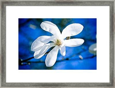 New White Magnolia Blossom Close Up Framed Print by Raimond Klavins