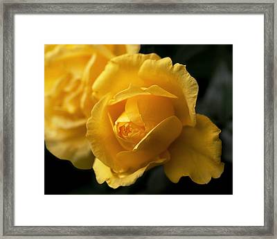 New Yellow Rose Framed Print by Rona Black
