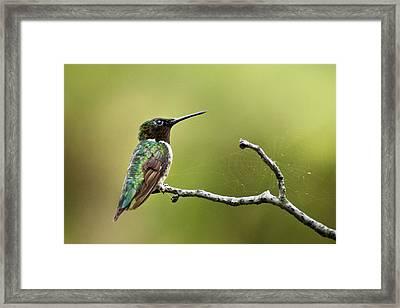 New York Hummingbird Framed Print by Christina Rollo