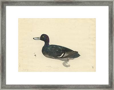 New Zealand Scaup Framed Print by Natural History Museum, London