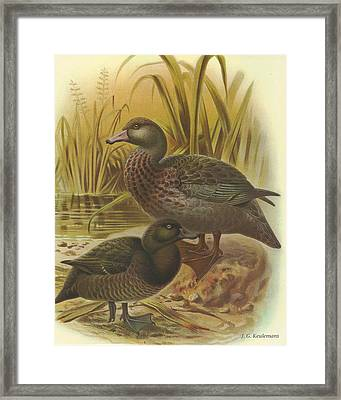 New Zealand Scaup Or Black Teal And Blue Duck Framed Print
