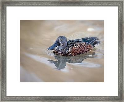 New Zealand Shoveler Framed Print