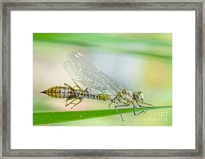Newborn Blue Hawker Dragonfly Framed Print by Martin Capek