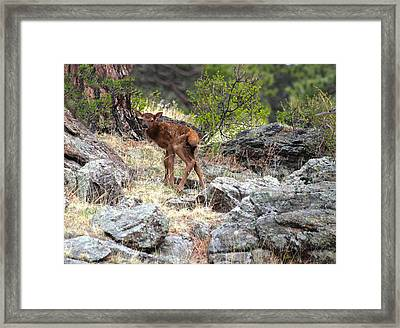 Newborn Elk Calf Framed Print