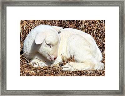 Newborn Lamb Framed Print by Leslie Kirk