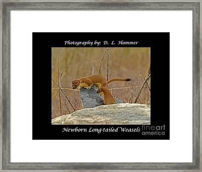 Newborn Long-tailed Weasels Framed Print by Dennis Hammer