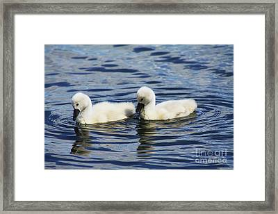 Framed Print featuring the photograph Newborn Mute Swans by Alyce Taylor