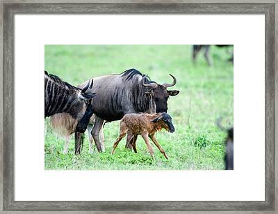 Newborn Wildebeest Calf Framed Print