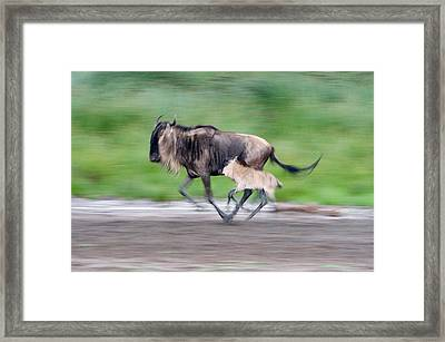 Newborn Wildebeest Calf Running Framed Print by Panoramic Images