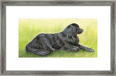 Newfoundland Dog Framed Print