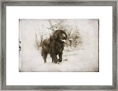 Newfoundland Friend Framed Print by Annette Persinger