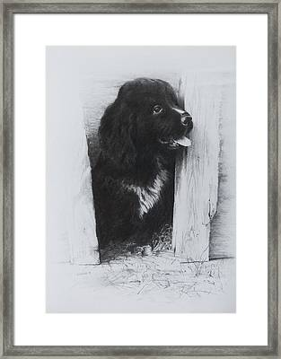 Newfoundland Puppy Framed Print by Rachel Christine Nowicki