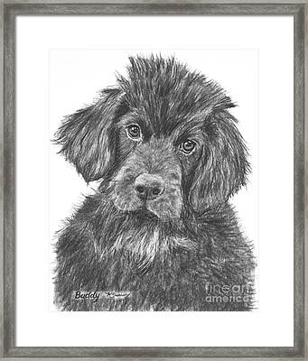 Newfoundland Puppy Sketch Framed Print by Kate Sumners