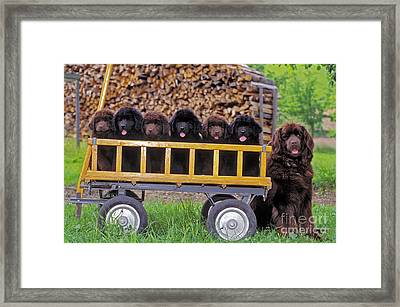 Newfoundland With Puppies Framed Print by Rolf Kopfle