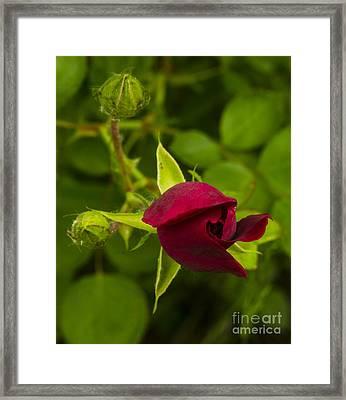 Newly Budding Rose Framed Print by Deborah Smolinske