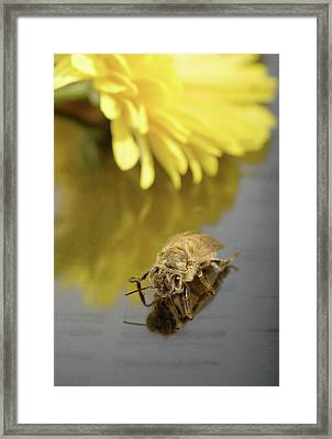 Newly Emerged Honey Bee Framed Print by Peggy Greb/us Department Of Agriculture