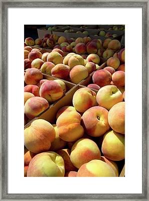 Newly Harvested Peaches On A Farm Framed Print
