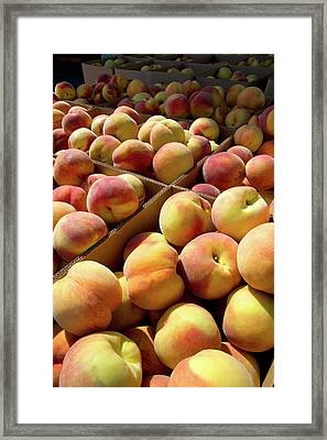 Newly Harvested Peaches On A Farm Framed Print by David R. Frazier