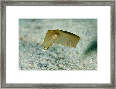 Newly Hatched Cuttlefish Framed Print by Scubazoo