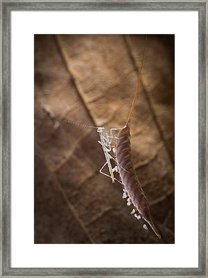 Newly Hatched Mantis Framed Print